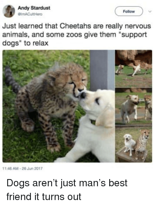 """cheetahs: Andy Stardust  Follow  Just learned that Cheetahs are really nervous  animals, and some zoos give them """"support  dogs"""" to relax  146 AM-26 Jun 2017 Dogs aren't just man's best friend it turns out"""