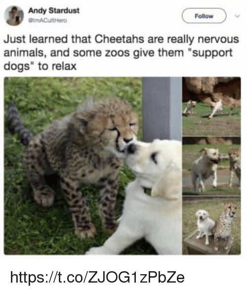 """Animals, Dogs, and Memes: Andy Stardust  Follow  Just learned that Cheetahs are really nervous  animals, and some zoos give them """"support  dogs"""" to relax https://t.co/ZJOG1zPbZe"""