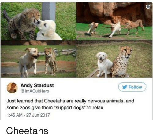 """Animals, Dogs, and Stardust: Andy Stardust  @ImACultHero  ( Follow  Just learned that Cheetahs are really nervous animals, and  some zoos give them """"support dogs"""" to relax  1:46 AM-27 Jun 2017 Cheetahs"""