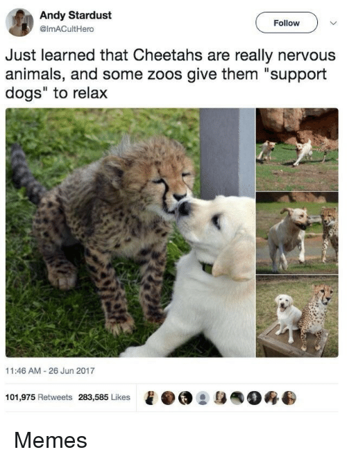 """cheetahs: Andy Stardust  @imACultHero  Follow  Just learned that Cheetahs are really nervous  animals, and some zoos give them """"support  dogs"""" to relax  11:46 AM 26 Jun 2017  101,975 Retweets 283,585 Likes  e·@ :身  0终 Memes"""