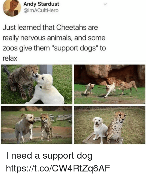 """cheetahs: Andy Stardust  @ImACultHero  Just learned that Cheetahs are  really nervous animals, and some  zoos give them """"support dogs"""" to  relax I need a support dog https://t.co/CW4RtZq6AF"""