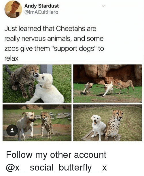 "Animals, Dogs, and Memes: Andy Stardust  @lmACultHero  Just learned that Cheetahs are  really nervous animals, and some  zoos give them ""support dogs' to  relax Follow my other account @x__social_butterfly__x"