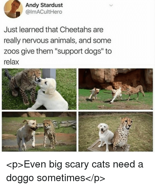 """cheetahs: Andy Stardust  @lmACultHero  Just learned that Cheetahs are  really nervous animals, and some  zoos give them """"support dogs"""" to  relax <p>Even big scary cats need a doggo sometimes</p>"""