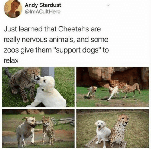 """cheetahs: Andy Stardust  @lmACultHero  Just learned that Cheetahs are  really nervous animals, and some  zoos give them """"support dogs"""" to  relax"""