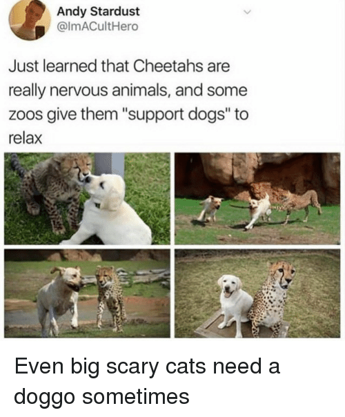 """cheetahs: Andy Stardust  @lmACultHero  Just learned that Cheetahs are  really nervous animals, and some  zoos give them """"support dogs"""" to  relax Even big scary cats need a doggo sometimes"""