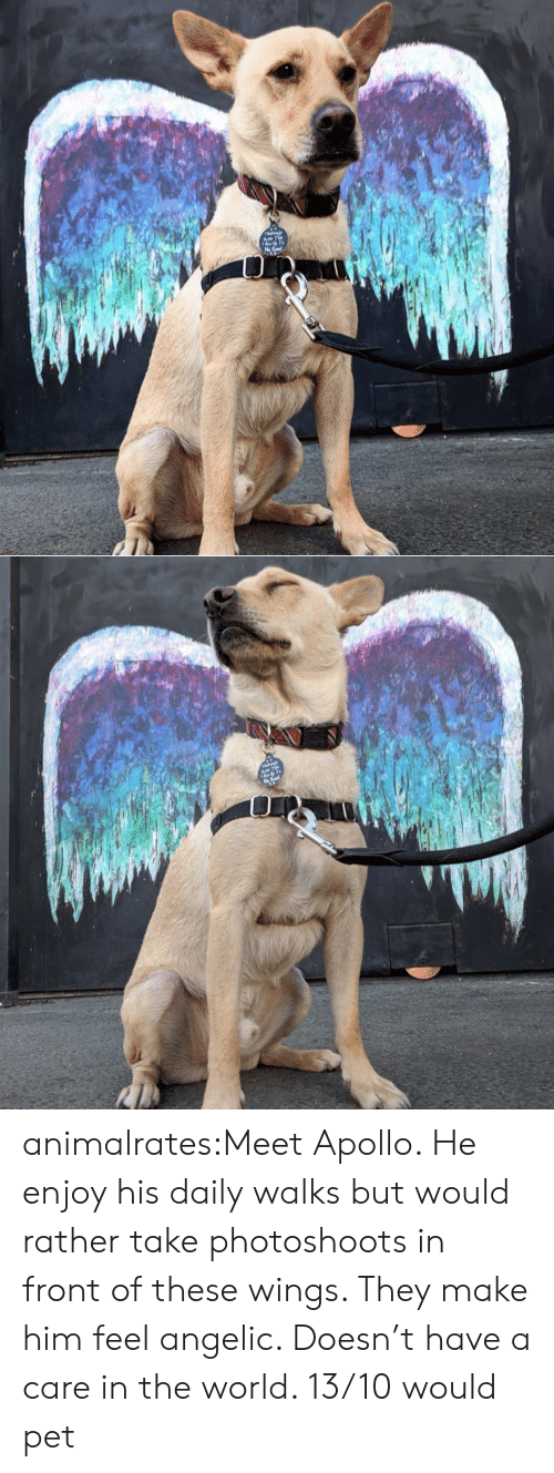 Apollo: animalrates:Meet Apollo. He enjoy his daily walks but would rather take photoshoots in front of these wings. They make him feel angelic. Doesn't have a care in the world. 13/10 would pet
