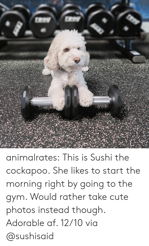 Sushi: animalrates: This is Sushi the cockapoo.She likes to start the morning right by going to the gym. Would rather take cute photos instead though. Adorable af. 12/10 via @sushisaid