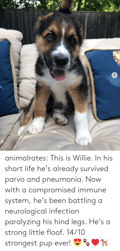 His: animalrates: This is Willie. In his short life he's already survived parvo and pneumonia. Now with a compromised immune system, he's been battling a neurological infection paralyzing his hind legs. He's a strong little floof. 14/10 strongest pup ever! 😍🐾❤️🐕