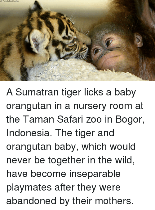 Indonesia: AP Photo/Achmad Ibrahim A Sumatran tiger licks a baby orangutan in a nursery room at the Taman Safari zoo in Bogor, Indonesia. The tiger and orangutan baby, which would never be together in the wild, have become inseparable playmates after they were abandoned by their mothers.