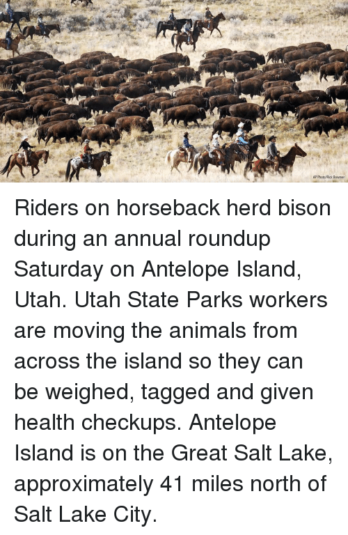 bison: AP Photo/Rick Bowmer Riders on horseback herd bison during an annual roundup Saturday on Antelope Island, Utah. Utah State Parks workers are moving the animals from across the island so they can be weighed, tagged and given health checkups. Antelope Island is on the Great Salt Lake, approximately 41 miles north of Salt Lake City.