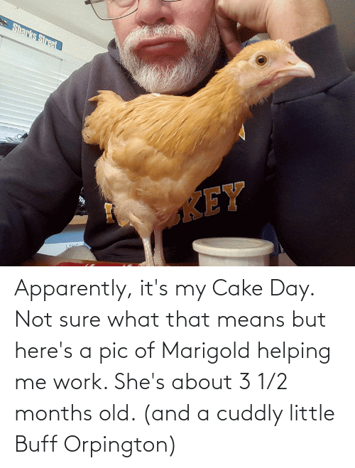 Apparently, Work, and Cake: Apparently, it's my Cake Day. Not sure what that means but here's a pic of Marigold helping me work. She's about 3 1/2 months old. (and a cuddly little Buff Orpington)