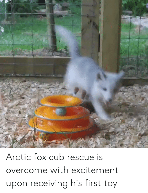 excitement: Arctic fox cub rescue is overcome with excitement upon receiving his first toy