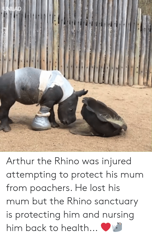 Nursing: Arthur the Rhino was injured attempting to protect his mum from poachers. He lost his mum but the Rhino sanctuary is protecting him and nursing him back to health... ❤️️🦏