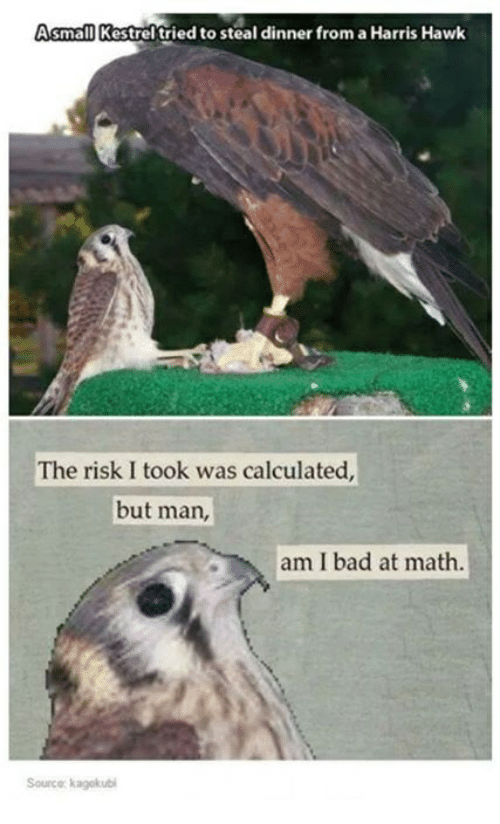But Man Am I Bad At Math: Asmall Kestrel tried to steal dinner from aHarris Hawk  The risk I took was calculated,  but man,  am I bad at math.  Source kagekubi