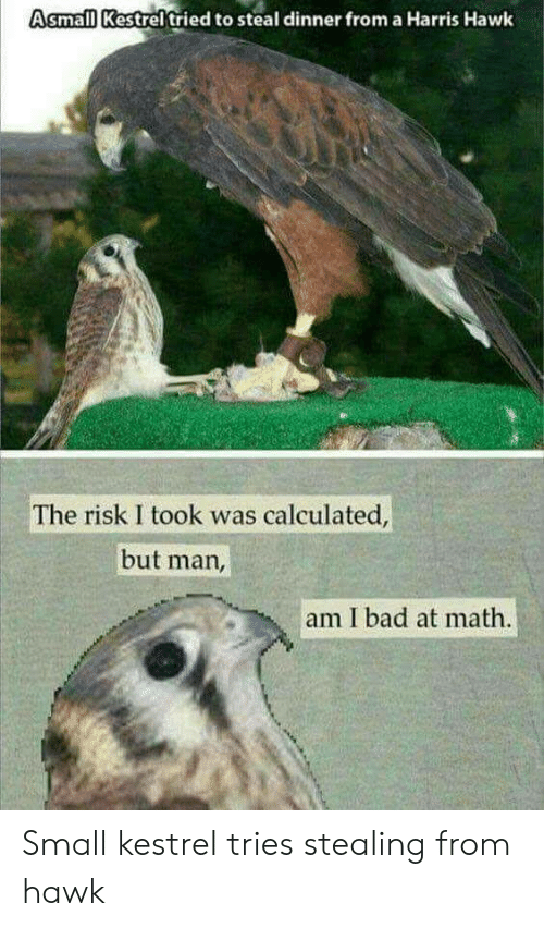 But Man Am I Bad At Math: Asmall Kestreltried to steal dinner from a Harris Hawk  The risk I took was calculated  but man,  am I bad at math. Small kestrel tries stealing from hawk