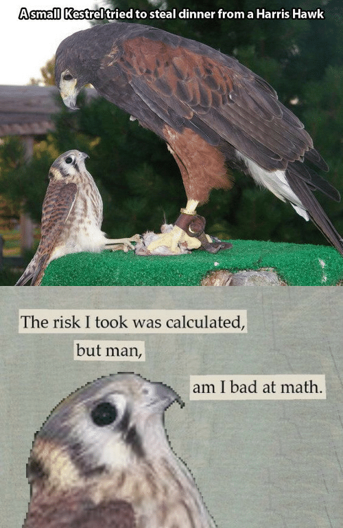 Bad At Math: AsmalllKestrel tried to steal dinner from a Harris Hawk   The risk I took was calculated,  but man,  am I bad at math