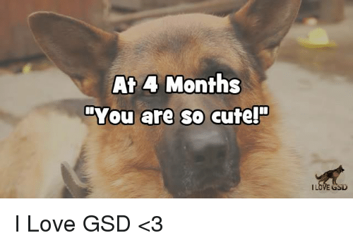 """gsd: At 4 Months  """"You are so cute!""""  GSD I Love GSD  <3"""