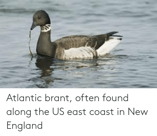 new england: Atlantic brant, often found along the US east coast in New England