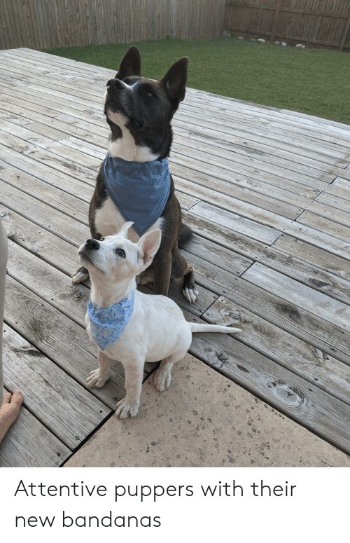 attentive: Attentive puppers with their new bandanas