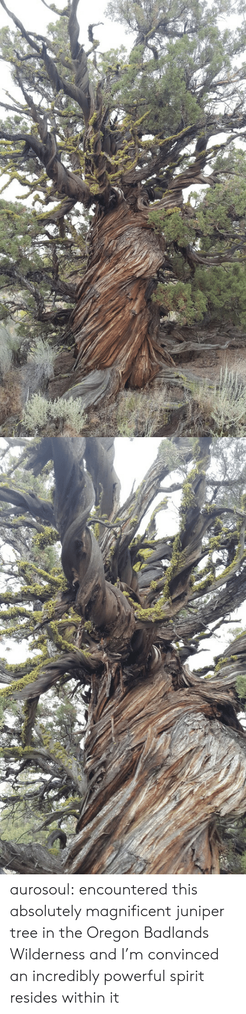 Within: aurosoul: encountered this absolutely magnificent juniper tree in the Oregon Badlands Wilderness and I'm convinced an incredibly powerful spirit resides within it