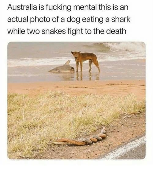Fucking, Memes, and Shark: Australia is fucking mental this is an  actual photo of a dog eating a shark  while two snakes fight to the death