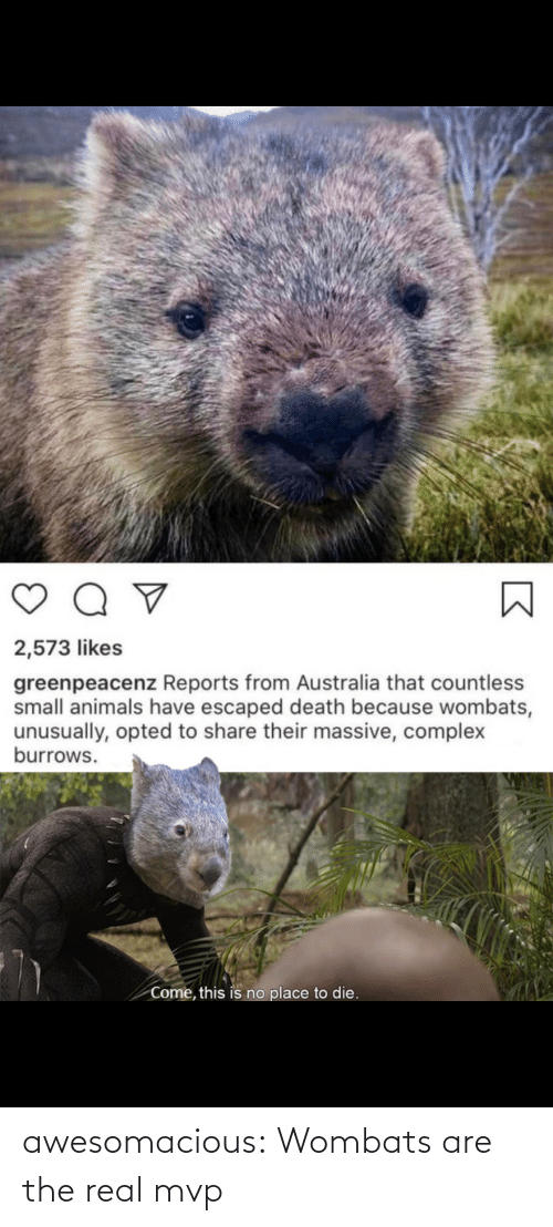 Are: awesomacious:  Wombats are the real mvp