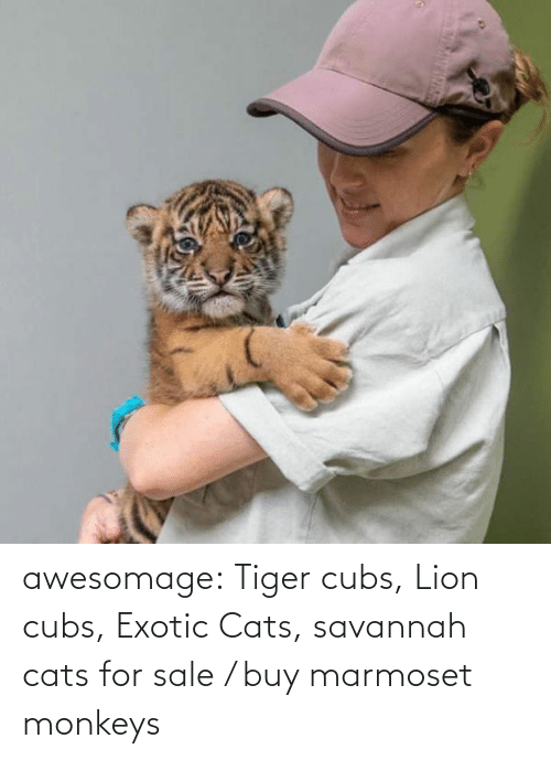 Buy: awesomage:  Tiger cubs, Lion cubs, Exotic Cats, savannah cats for sale / buy marmoset monkeys