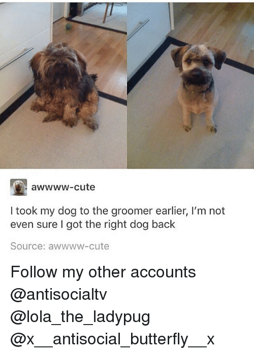 lolas: awwww-cute  I took my dog to the groomer earlier, I'm not  even sure I got the right dog back  Source: awwww-cute Follow my other accounts @antisocialtv @lola_the_ladypug @x__antisocial_butterfly__x
