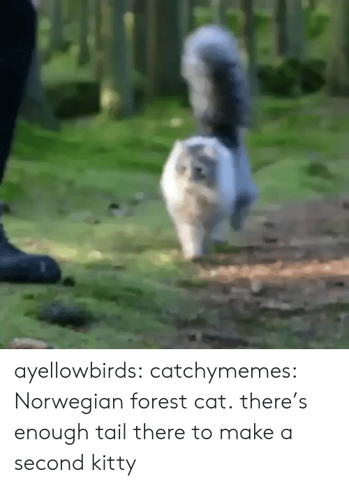 Cats, Reddit, and Tumblr: ayellowbirds: catchymemes: Norwegian forest cat. there's enough tail there to make a second kitty