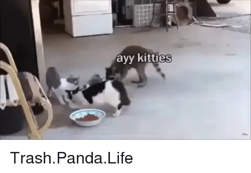 Kitties, Life, and Memes: ayy kitties Trash.Panda.Life