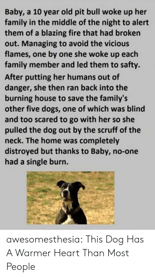 pit bull: Baby, a 10 year old pit bull woke up her  family in the middle of the night to alert  them of a blazing fire that had broken  out. Managing to avoid the vicious  flames, one by one she woke up each  family member and led them to safty.  After putting her humans out of  danger, she then ran back into the  burning house to save the family's  other five dogs, one of which was blind  and too scared to go with her so she  pulled the dog out by the scruff of the  neck. The home was completely  distroyed but thanks to Baby, no-one  had a single burn. awesomesthesia:  This Dog Has A Warmer Heart Than Most People