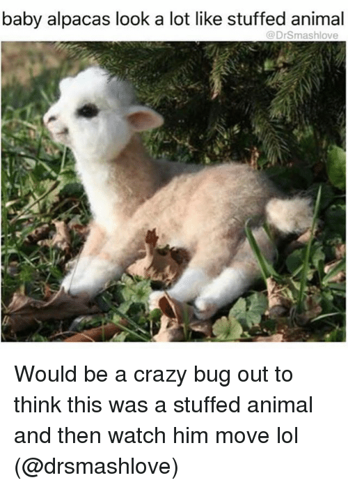 bugging: baby alpacas look a lot like stuffed animal  @Drsmashlove Would be a crazy bug out to think this was a stuffed animal and then watch him move lol (@drsmashlove)