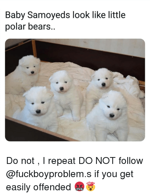 polar bears: Baby Samoyeds look like little  polar bears. Do not , I repeat DO NOT follow @fuckboyproblem.s if you get easily offended 🤬🤯