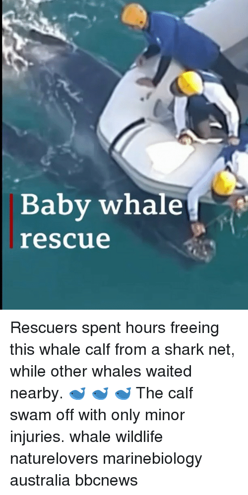 baby whale: Baby whale  rescue Rescuers spent hours freeing this whale calf from a shark net, while other whales waited nearby. 🐋 🐋 🐋 The calf swam off with only minor injuries. whale wildlife naturelovers marinebiology australia bbcnews