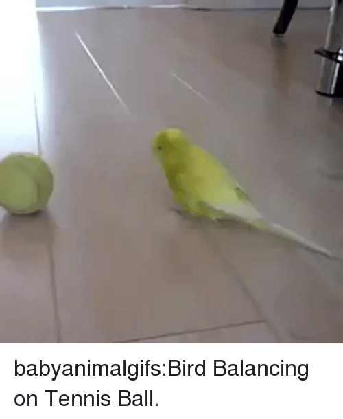 Target, Tumblr, and Blog: babyanimalgifs:Bird Balancing on Tennis Ball.