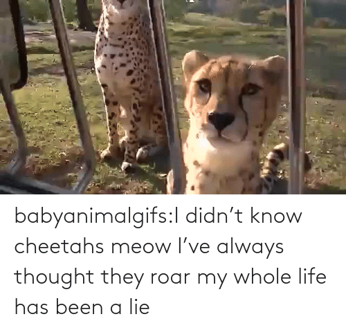 lie: babyanimalgifs:I didn't know cheetahs meow I've always thought they roar my whole life has been a lie