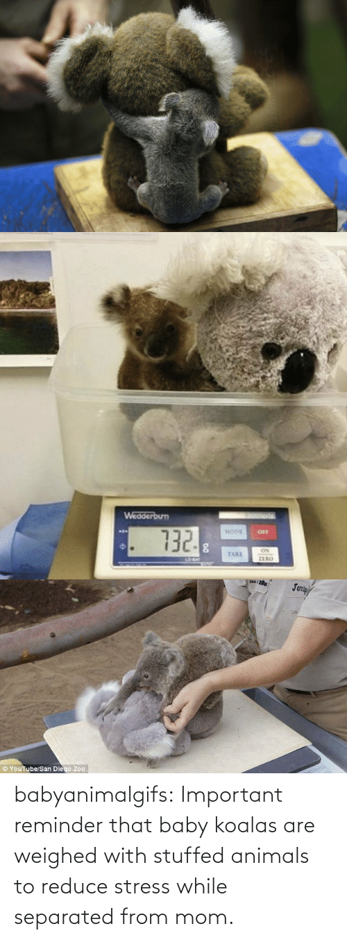 stuffed: babyanimalgifs:  Important reminder that baby koalas are weighed with stuffed animals to reduce stress while separated from mom.