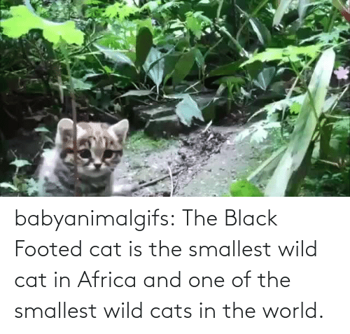 in the world: babyanimalgifs: The Black Footed cat is the smallest wild cat in Africa and one of the smallest wild cats in the world.