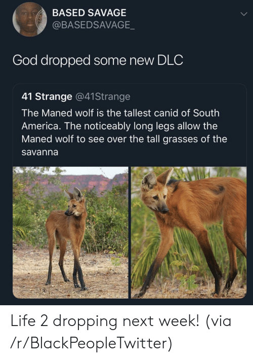 Long Legs: BASED SAVAGE  @BASEDSAVAGE  God dropped some new DLC  41 Strange @41Strange  The Maned wolf is the tallest canid of South  America. The noticeably long legs allow the  Maned wolf to see over the tall grasses of the  savanna Life 2 dropping next week! (via /r/BlackPeopleTwitter)