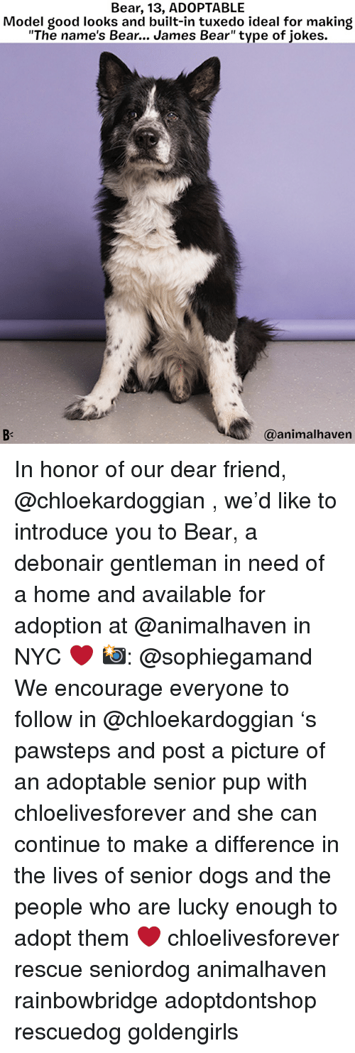 """Good Looks: Bear, 13, ADOPTABLE  Model good looks and built-in tuxedo ideal for making  """"The name's Bear... James Bear"""" type of jokes.  @animalhaven In honor of our dear friend, @chloekardoggian , we'd like to introduce you to Bear, a debonair gentleman in need of a home and available for adoption at @animalhaven in NYC ❤️ 📸: @sophiegamand We encourage everyone to follow in @chloekardoggian 's pawsteps and post a picture of an adoptable senior pup with chloelivesforever and she can continue to make a difference in the lives of senior dogs and the people who are lucky enough to adopt them ❤️ chloelivesforever rescue seniordog animalhaven rainbowbridge adoptdontshop rescuedog goldengirls"""