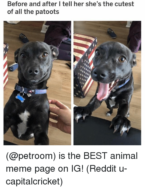 Meme, Memes, and Reddit: Before and after I tell her she's the cutest  of all the patoots (@petroom) is the BEST animal meme page on IG! (Reddit u-capitalcricket)