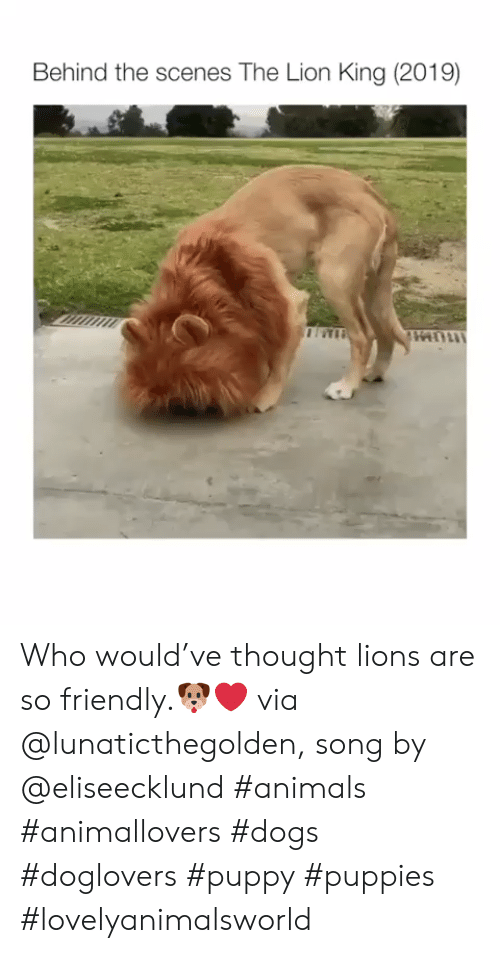 Animals, Dogs, and Puppies: Behind the scenes The Lion King (2019) Who would've thought lions are so friendly.🐶❤ via @lunaticthegolden, song by @eliseecklund #animals #animallovers #dogs #doglovers #puppy #puppies #lovelyanimalsworld