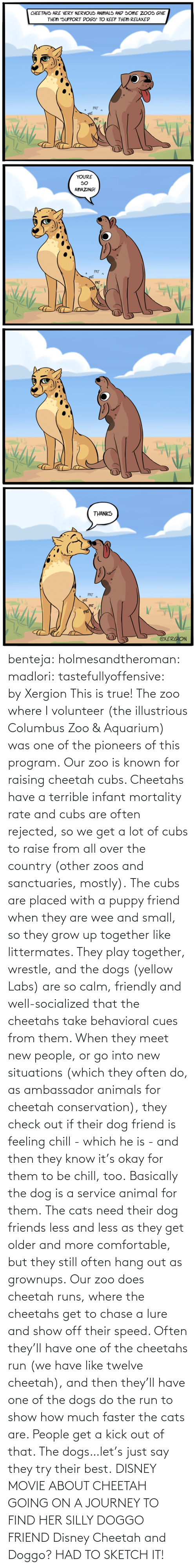 country: benteja:  holmesandtheroman:  madlori:  tastefullyoffensive: by Xergion This is true! The zoo where I volunteer (the illustrious Columbus Zoo & Aquarium) was one of the pioneers of this program. Our zoo is known for raising cheetah cubs. Cheetahs have a terrible infant mortality rate and cubs are often rejected, so we get a lot of cubs to raise from all over the country (other zoos and sanctuaries, mostly). The cubs are placed with a puppy friend when they are wee and small, so they grow up together like littermates. They play together, wrestle, and the dogs (yellow Labs) are so calm, friendly and well-socialized that the cheetahs take behavioral cues from them. When they meet new people, or go into new situations (which they often do, as ambassador animals for cheetah conservation), they check out if their dog friend is feeling chill - which he is - and then they know it's okay for them to be chill, too. Basically the dog is a service animal for them. The cats need their dog friends less and less as they get older and more comfortable, but they still often hang out as grownups. Our zoo does cheetah runs, where the cheetahs get to chase a lure and show off their speed. Often they'll have one of the cheetahs run (we have like twelve cheetah), and then they'll have one of the dogs do the run to show how much faster the cats are. People get a kick out of that. The dogs…let's just say they try their best.   DISNEY MOVIE ABOUT CHEETAH GOING ON A JOURNEY TO FIND HER SILLY DOGGO FRIEND  Disney Cheetah and Doggo? HAD TO SKETCH IT!