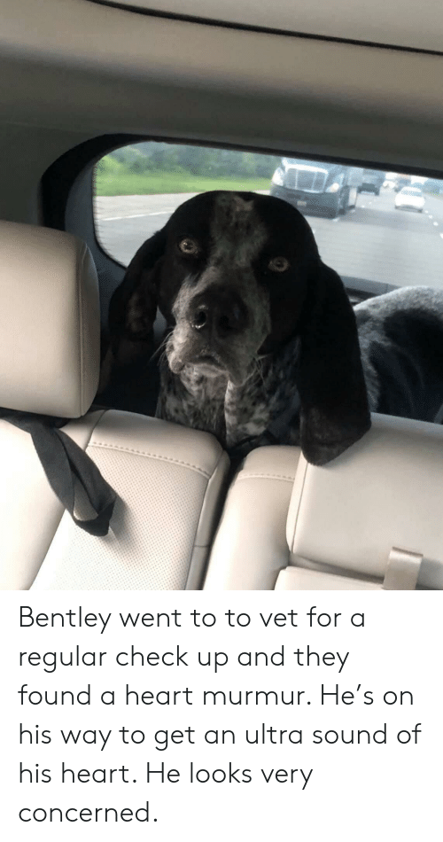Bentley, Heart, and Heart Murmur: Bentley went to to vet for a regular check up and they found a heart murmur. He's on his way to get an ultra sound of his heart. He looks very concerned.