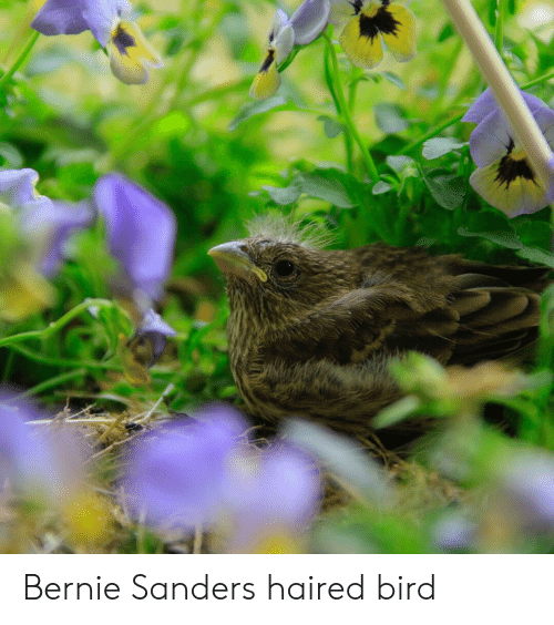 Bernie Sanders, Bernie, and  Bird: Bernie Sanders haired bird