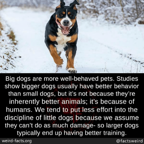 typically: Big dogs are more well-behaved pets. Studies  show bigger dogs usually have better behavior  than small dogs, but it's not because they're  inherently better animals; it's because of  humans. We tend to put less effort into the  discipline of little dogs because we assume  they can't do as much damage- so larger dogs  typically end up having better training.  weird-facts.org  @factsweird