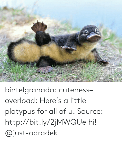 cuteness: bintelgranada: cuteness–overload:   Here's a little platypus for all of u. Source: http://bit.ly/2jMWQUe   hi! @just-odradek