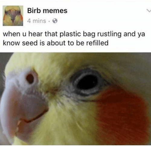 Rustling: Birb memes  4 mins  when u hear that plastic bag rustling and ya  know seed is about to be refilled