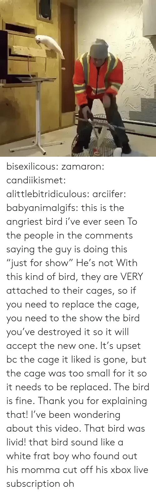 """Angriest: bisexilicous: zamaron:  candiikismet:  alittlebitridiculous:   arciifer:  babyanimalgifs:  this is the angriest bird i've ever seen  To the people in the comments saying the guy is doing this """"just for show"""" He's not With this kind of bird, they are VERY attached to their cages, so if you need to replace the cage, you need to the show the bird you've destroyed it so it will accept the new one. It's upset bc the cage it liked is gone, but the cage was too small for it so it needs to be replaced. The bird is fine.   Thank you for explaining that!  I've been wondering about this video.   That bird was livid!   that bird sound like a white frat boy who found out his momma cut off his xbox live subscription  oh"""