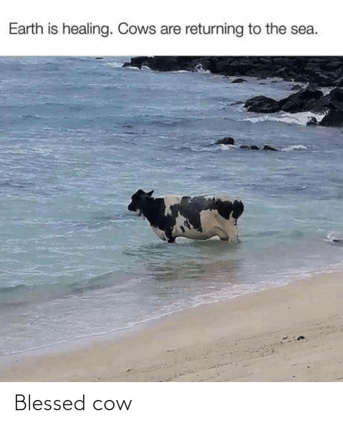 blessed: Blessed cow